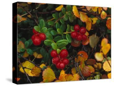 Lowbush Cranberries in the Yukon, Canada-Nick Norman-Stretched Canvas Print