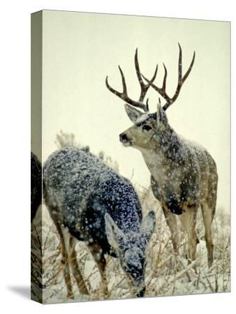 Mule Deer Buck Watches over His Doe, Yellowstone National Park, Wyoming-Michael S^ Quinton-Stretched Canvas Print