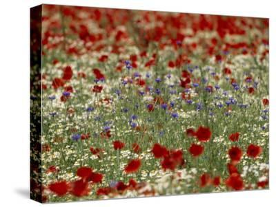 Bachelor Buttons, Poppies, and Other Flowers in Bloom-Norbert Rosing-Stretched Canvas Print