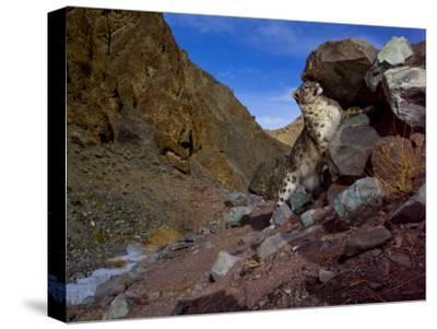 A snow leopard signals its presence by rubbing its scent on a rock-Steve Winter-Stretched Canvas Print