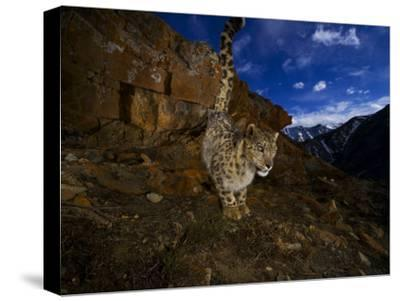 A snow leopard signals its presence by urinating beside his trail-Steve Winter-Stretched Canvas Print