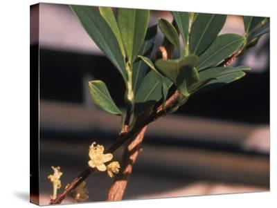 The Coca Leaf Plant, Used to Make Cocaine--Stretched Canvas Print