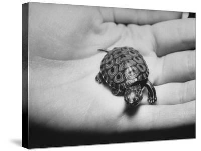 Pet Turtle-Ralph Morse-Stretched Canvas Print