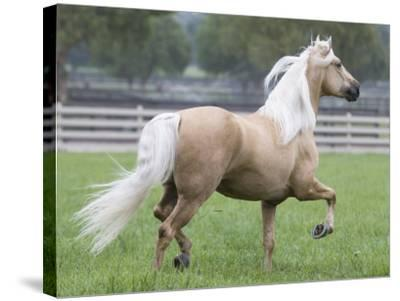 Palomino Andalusian Stallion Trotting in Paddock, Ojai, California, USA-Carol Walker-Stretched Canvas Print
