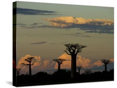 Baobab Trees in Baobabs Avenue, Near Morondava, West Madagascar-Inaki Relanzon-Stretched Canvas Print