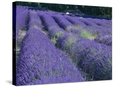 Field of Lavander Flowers Ready for Harvest, Sault, Provence, France, June 2004-Inaki Relanzon-Stretched Canvas Print