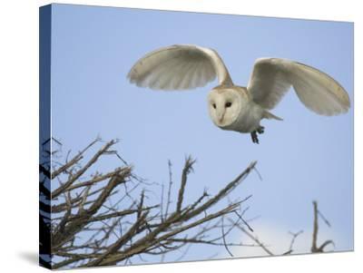 Barn Owl Hunting Along Roadside Hedge, Norfolk, UK-Gary Smith-Stretched Canvas Print