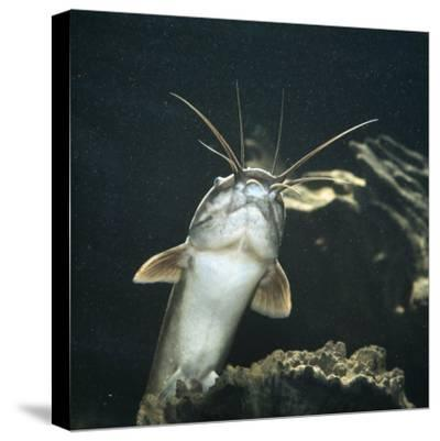Clarias Catfish Showing Barbels-Jane Burton-Stretched Canvas Print