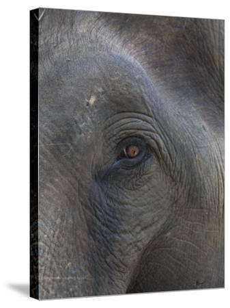 Indian Elephant Close Up of Eye, Controlled Conditions, Bandhavgarh Np, Madhya Pradesh, India-T^j^ Rich-Stretched Canvas Print