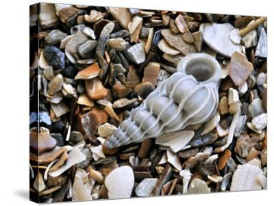 Common Wentletrap Shell on Beach, Belgium-Philippe Clement-Stretched Canvas Print