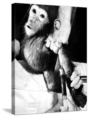 Researchers Testing Immunity of a Chimp That Was Inoculated with Polio Vaccine--Stretched Canvas Print