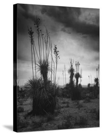Yucca Plants in Desert-Alfred Eisenstaedt-Stretched Canvas Print