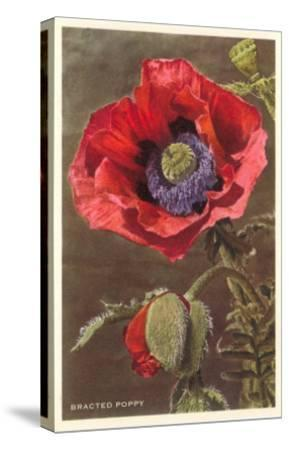 Bracted Poppy--Stretched Canvas Print