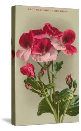 Lady Washington Geranium--Stretched Canvas Print