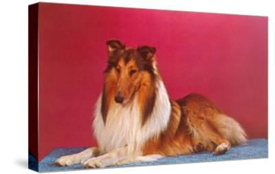 Collie--Stretched Canvas Print