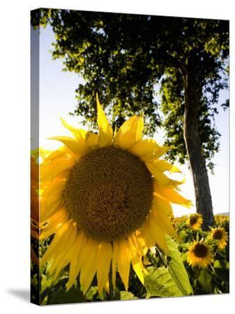 Field of Sunflowers in Full Bloom, Languedoc, France, Europe-Martin Child-Stretched Canvas Print