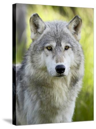 Gray Wolf, in Captivity, Sandstone, Minnesota, USA-James Hager-Stretched Canvas Print