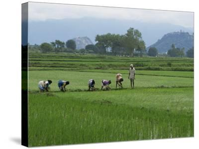 Line of People Planting Rice, Working the Rice Fields Near Madurai, Tamil Nadu, India-Robert Harding-Stretched Canvas Print