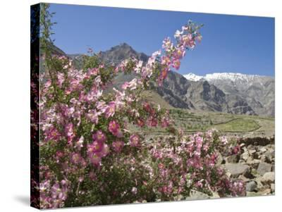 Wild Rose Shrub in Blossom with Mountains Beyond, Spiti Valley, Spiti, Himachal Pradesh, India-Simanor Eitan-Stretched Canvas Print