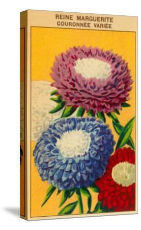 French Reine Marguerite Coronets Seed Packet--Stretched Canvas Print