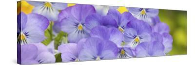 Lavendar and Yellow Pansies, Seattle, Washington, USA-Terry Eggers-Stretched Canvas Print