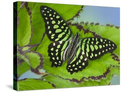 The Tailed Jay Butterfly on Flowers-Darrell Gulin-Stretched Canvas Print