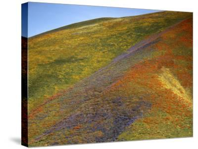 California Poppies and Globe Gilia, Tehachapi Mountains, California, USA-Charles Gurche-Stretched Canvas Print
