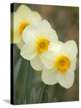 Closeup of White Daffodils, Arlington, Virginia, USA-Corey Hilz-Stretched Canvas Print