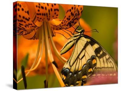 Eastern Tiger Swallowtail Butterfuly Feeding on Orange Tiger Lily, Vienna, Virginia, USA-Corey Hilz-Stretched Canvas Print