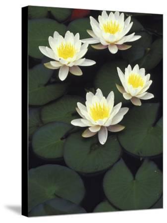 Hybrid waterlilys, Indiana, USA-Adam Jones-Stretched Canvas Print