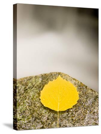 An aspen leaf next to a stream in a Forest in Grafton, New Hampshire, USA-Jerry & Marcy Monkman-Stretched Canvas Print