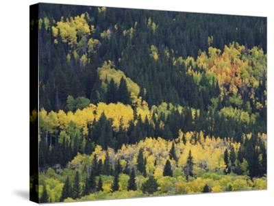 Aspen Trees, Endovalley, Rocky Mountain National Park, Colorado, USA-Rolf Nussbaumer-Stretched Canvas Print