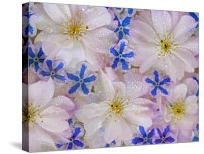 Montage of Cherry Blossoms and Blue Flowers-Don Paulson-Stretched Canvas Print