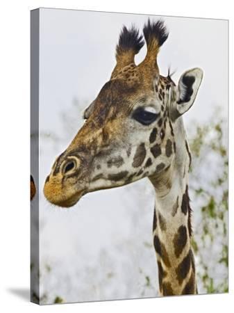 Maasai Giraffe Feeding, Maasai Mara, Kenya-Joe Restuccia III-Stretched Canvas Print