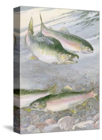 Painting of Pink Salmon at their Nest, with Typical Hump-Backed Male-Hashime Murayama-Stretched Canvas Print