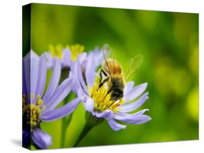 Honey Bee Collecting Pollen from an Aster Flower with Purple Petals-White & Petteway-Stretched Canvas Print