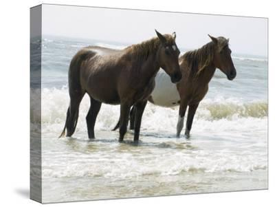 Wild Horses Bathe in the Atlantic Ocean Off the Coast of Maryland-Stacy Gold-Stretched Canvas Print