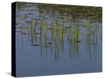 Lilly Pads Float on a River in Wisconsin-Stacy Gold-Stretched Canvas Print