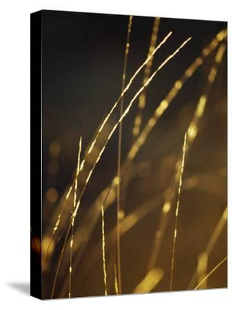 Delicate and Fragile Native Wire Grass Backlit by the Rising Sun-Jason Edwards-Stretched Canvas Print