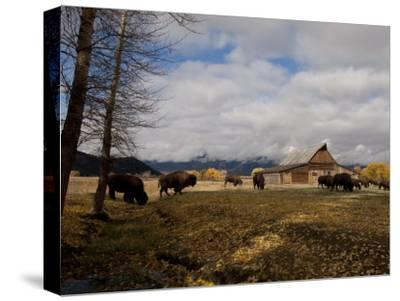 Buffalo in Front of Moulton Barn Near Grand Teton National Park-National Geographic Photographer-Stretched Canvas Print