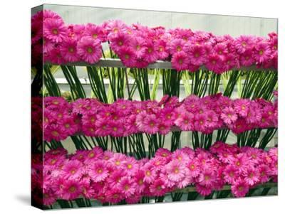 Harvested Gerbera Daisies Freshly Picked from Greenhouse-James Forte-Stretched Canvas Print