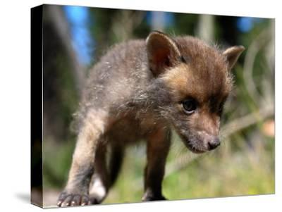 Juvenile Fox Exploring in a Forest-Brooke Whatnall-Stretched Canvas Print