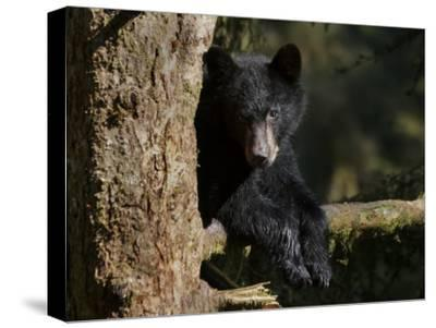 Black Bear on Tree Branch in Tongass National Forest-Melissa Farlow-Stretched Canvas Print