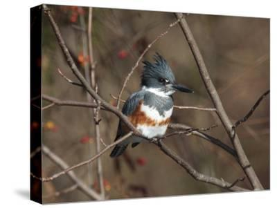 Female Belted Kingfisher Perched on a Branch over Water-George Grall-Stretched Canvas Print
