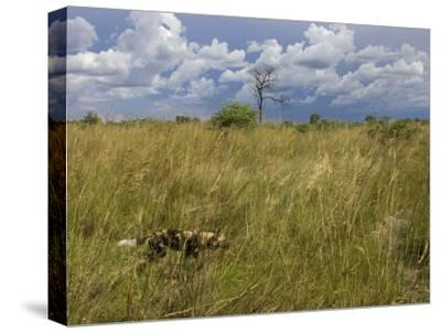Lone African Wild Hunting Dog Walking in Tall Grass-Roy Toft-Stretched Canvas Print