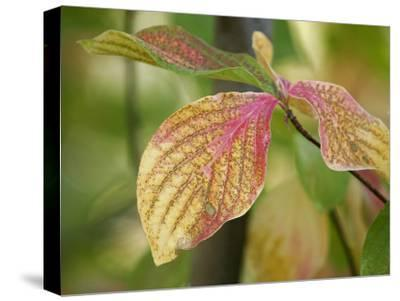 Tree Leaves Display Autumn Color Change-Charles Kogod-Stretched Canvas Print
