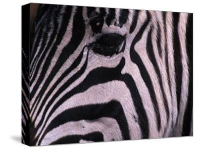 Detail of a Plains Zebra's Face-Nick Norman-Stretched Canvas Print
