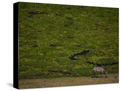 Zabra Grazing in a Green Landscape-Beverly Joubert-Stretched Canvas Print
