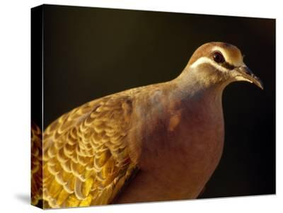 Delicate Features and Feather Plumage of the Common Bronzewing Pigeon-Jason Edwards-Stretched Canvas Print