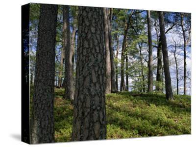 Stand of Pine Trees on a Hill-Norbert Rosing-Stretched Canvas Print